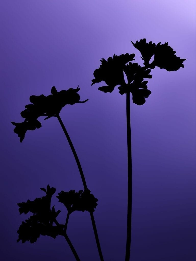 Test image, part of a series of silhouette herbs with different colour backgrounds, this one is of parsley