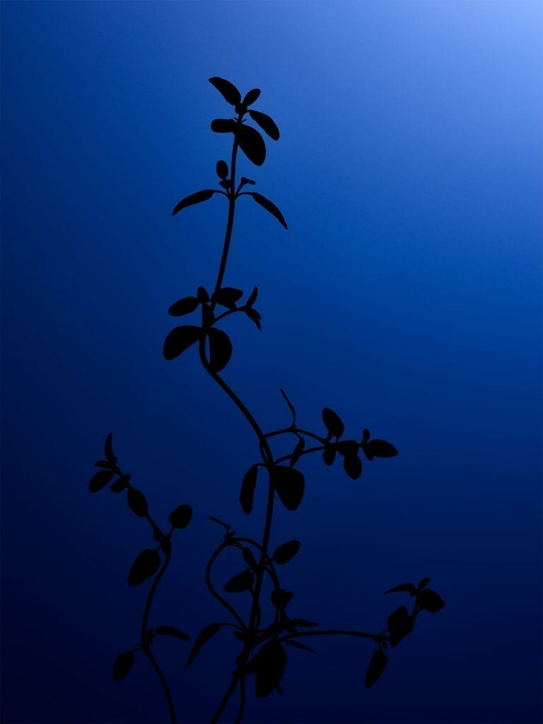 Test image, part of a series of silhouette herbs with different colour backgrounds, this one is of thyme.